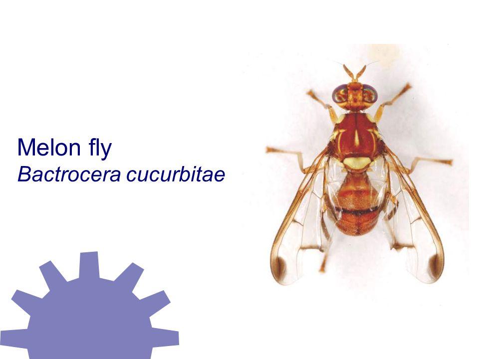 Melon fly Bactrocera cucurbitae