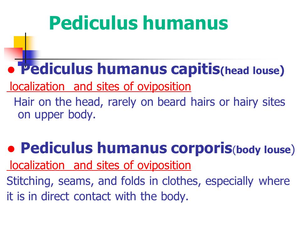 ● Pediculus humanus capitis (head louse ) localization and sites of oviposition Hair on the head, rarely on beard hairs or hairy sites on upper body.