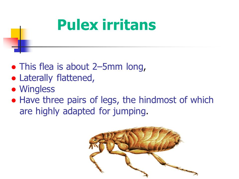 ● This flea is about 2–5mm long, ● Laterally flattened, ● Wingless ● Have three pairs of legs, the hindmost of which are highly adapted for jumping. P