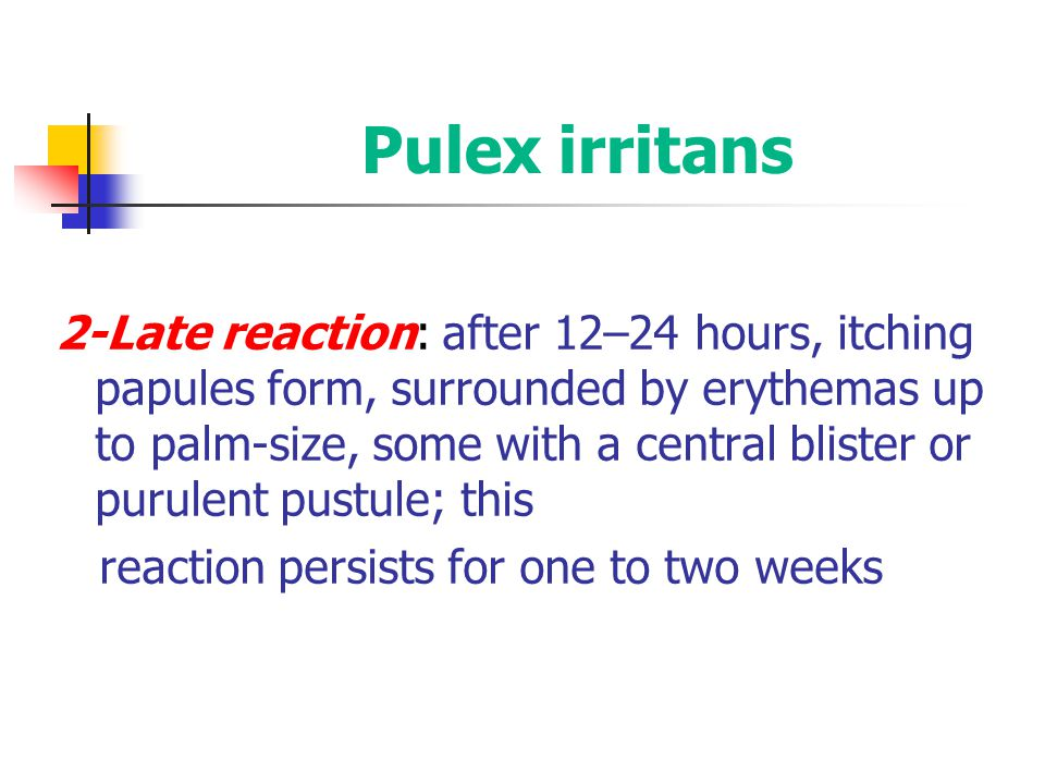 Pulex irritans 2-Late reaction: after 12–24 hours, itching papules form, surrounded by erythemas up to palm-size, some with a central blister or purul