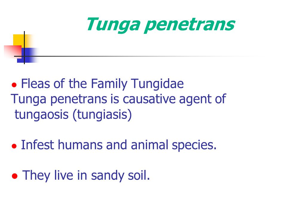 Tunga penetrans ● Fleas of the Family Tungidae Tunga penetrans is causative agent of tungaosis (tungiasis) ● Infest humans and animal species. ● They