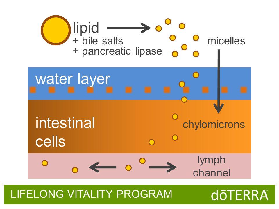 LIFELONG VITALITY PROGRAM lipid micelles water layer intestinal cells lymph channel chylomicrons + bile salts + pancreatic lipase