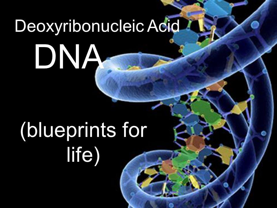 Deoxyribonucleic Acid DNA (blueprints for life)