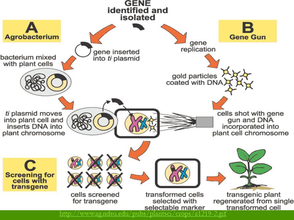 http://www.ag.ndsu.edu/pubs/plantsci/crops/a1219-2.gif