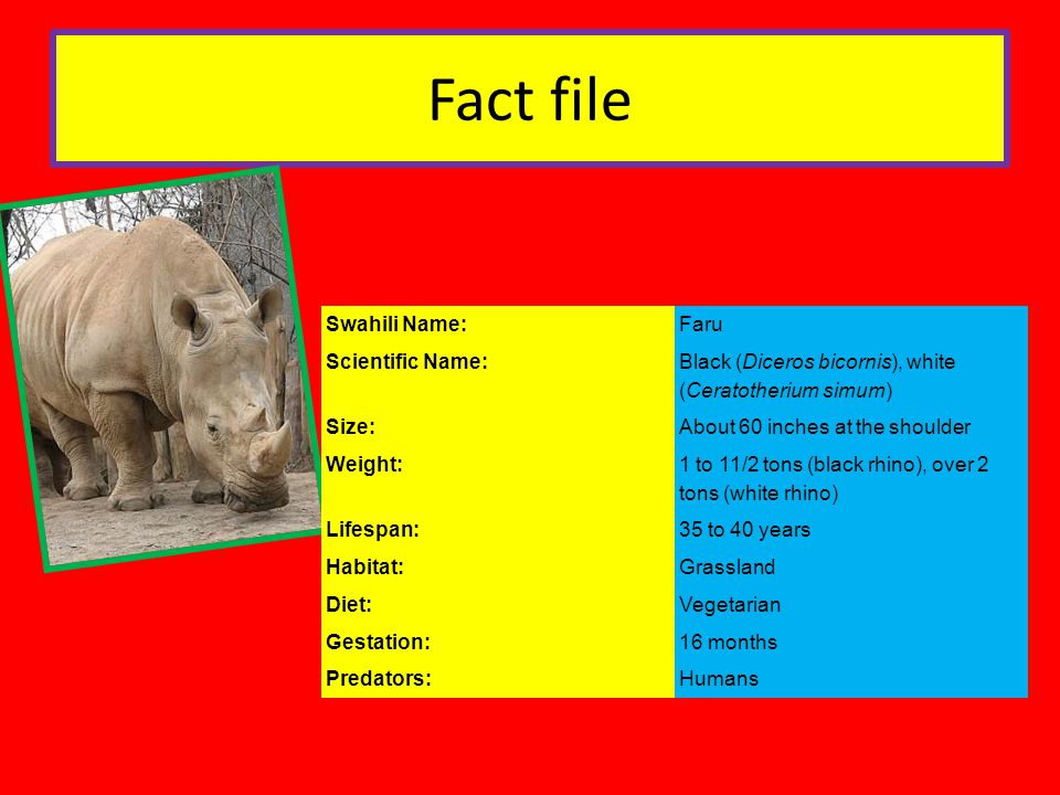 Fact file Swahili Name:Faru Scientific Name: Black (Diceros bicornis), white (Ceratotherium simum) Size:About 60 inches at the shoulder Weight: 1 to 11/2 tons (black rhino), over 2 tons (white rhino) Lifespan:35 to 40 years Habitat:Grassland Diet:Vegetarian Gestation:16 months Predators:Humans