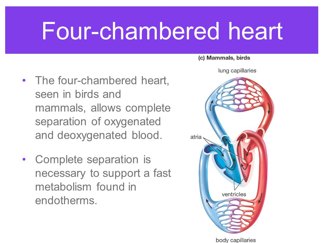 Four-chambered heart The four-chambered heart, seen in birds and mammals, allows complete separation of oxygenated and deoxygenated blood.