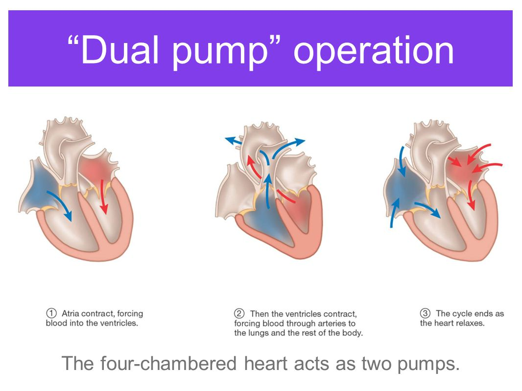 Dual pump operation The four-chambered heart acts as two pumps.