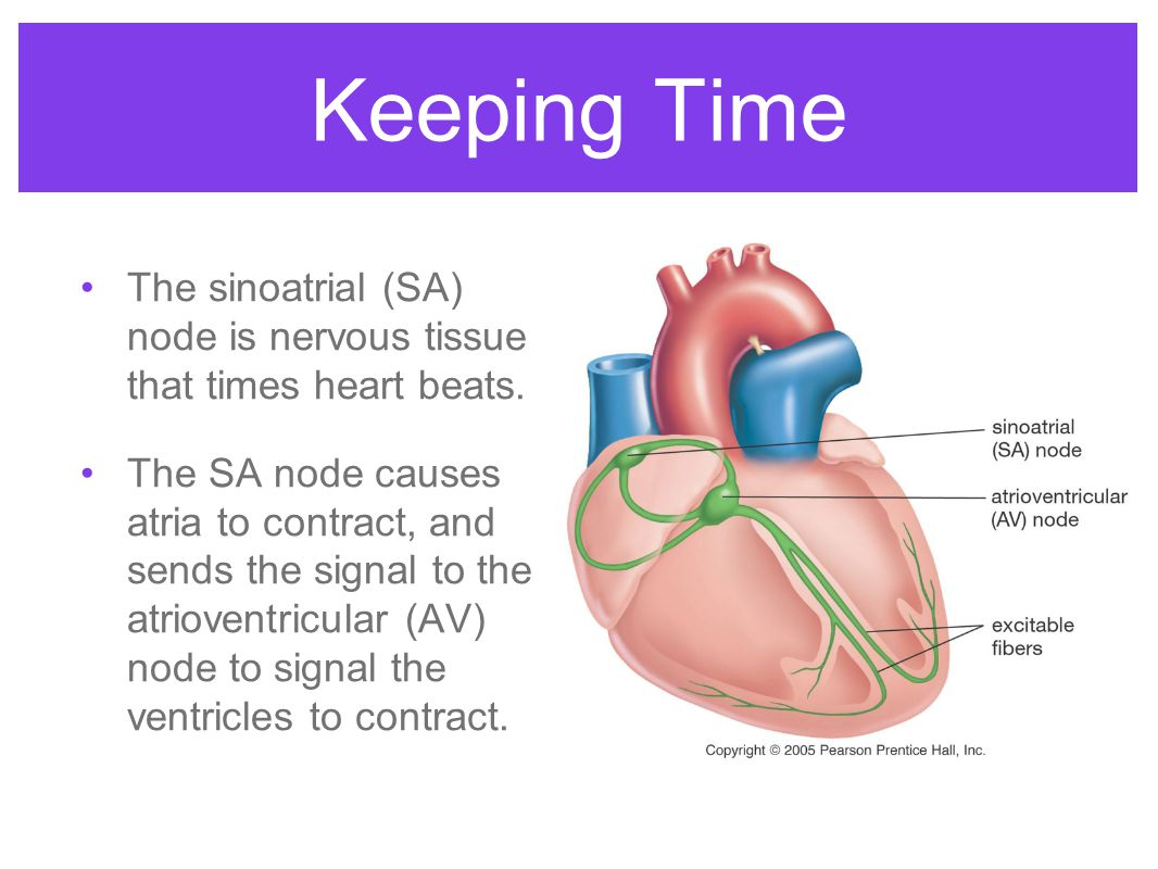 Keeping Time The sinoatrial (SA) node is nervous tissue that times heart beats.