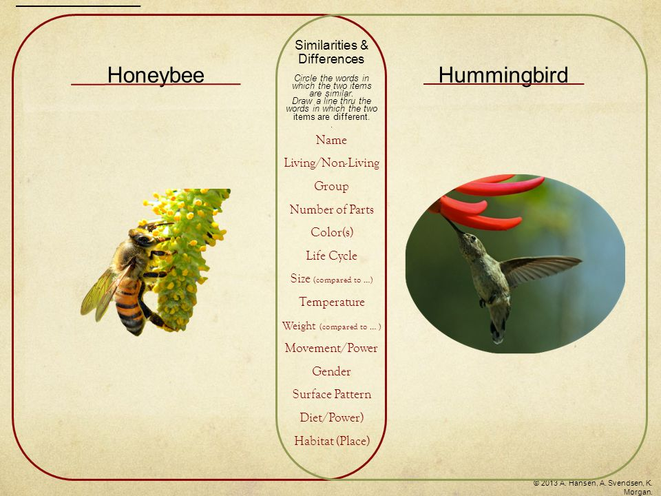 HoneybeeHummingbird Similarities & Differences Circle the words in which the two items are similar. Draw a line thru the words in which the two items