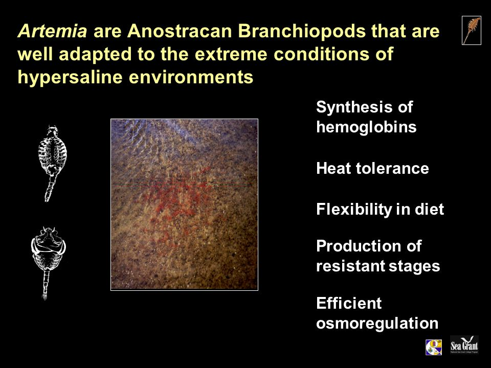 Artemia are Anostracan Branchiopods that are well adapted to the extreme conditions of hypersaline environments Synthesis of hemoglobins Heat tolerance Flexibility in diet Production of resistant stages Efficient osmoregulation
