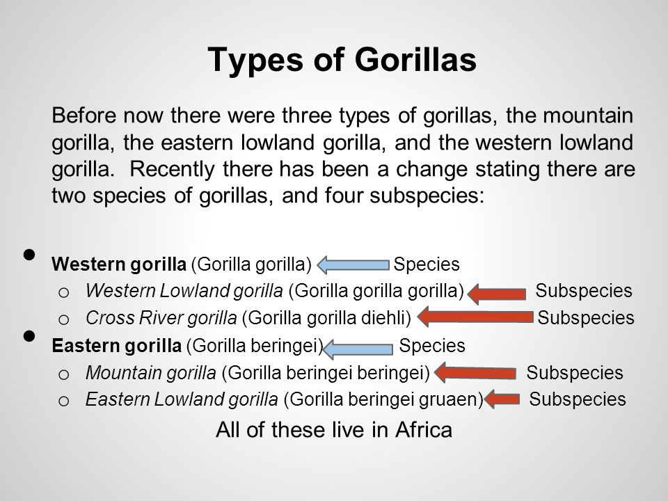 Before now there were three types of gorillas, the mountain gorilla, the eastern lowland gorilla, and the western lowland gorilla.