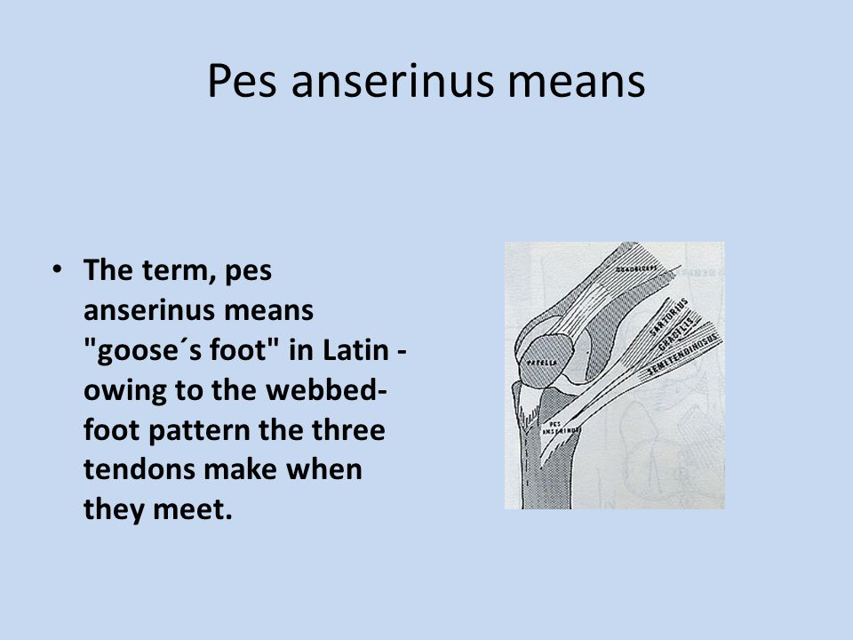 Pes anserinus means The term, pes anserinus means