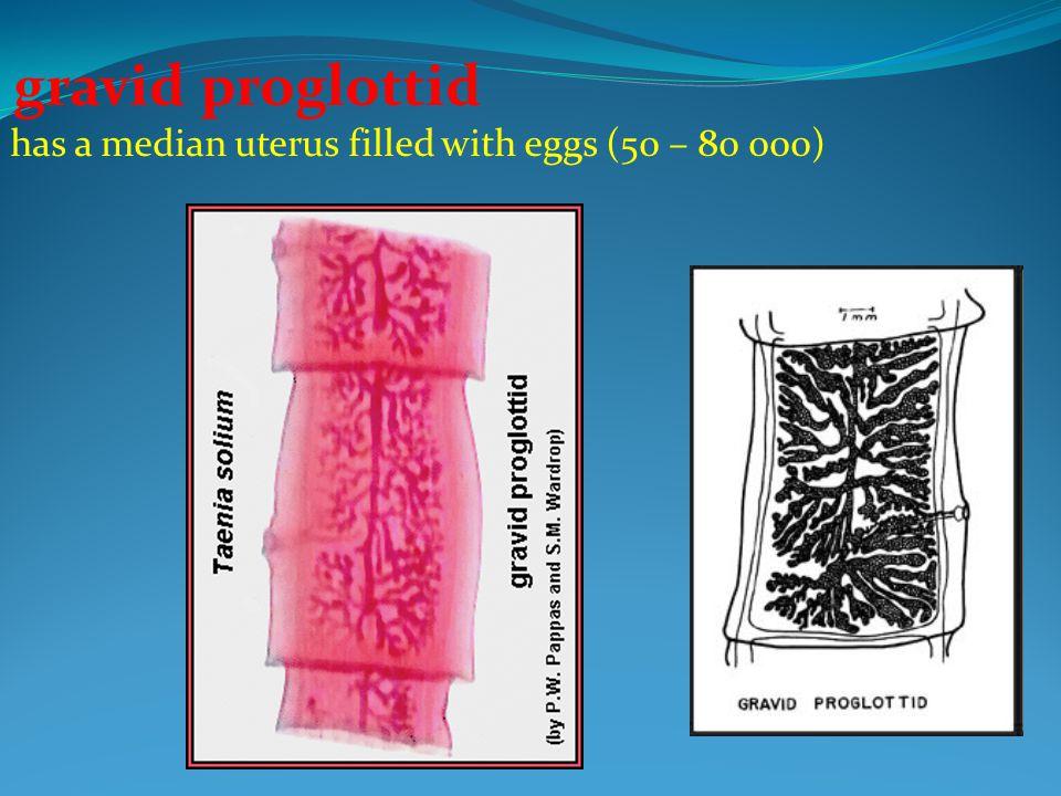 gravid proglottid has a median uterus filled with eggs (50 – 80 000)