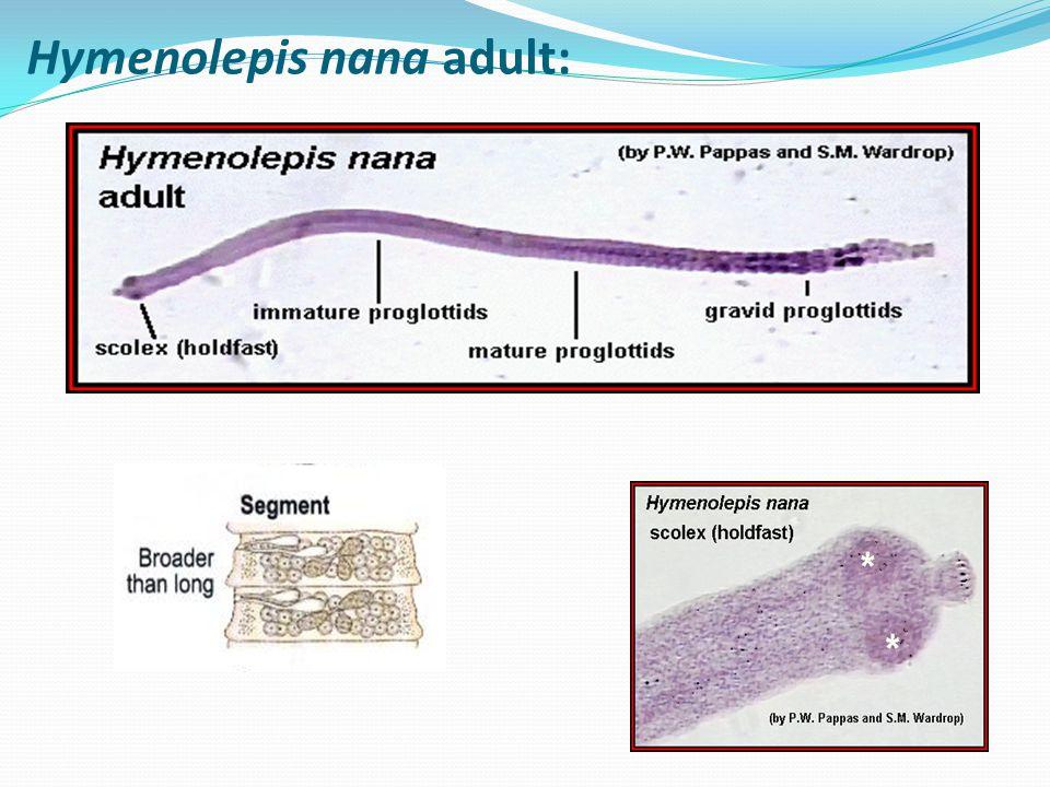 Hymenolepis nana adult: