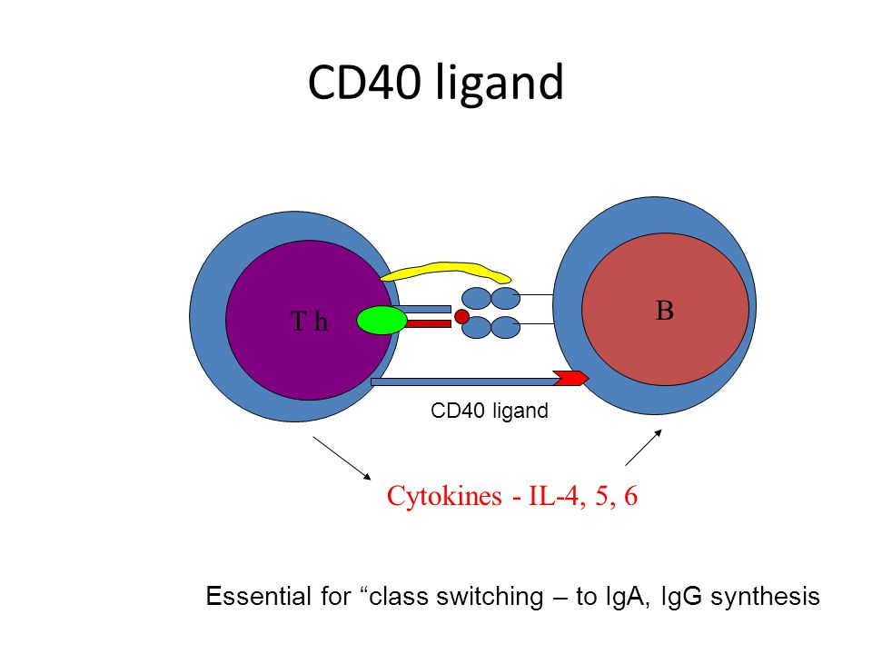 CD40 ligand T h B Cytokines - IL-4, 5, 6 CD40 ligand Essential for class switching – to IgA, IgG synthesis