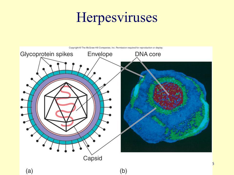 16 Herpesviruses
