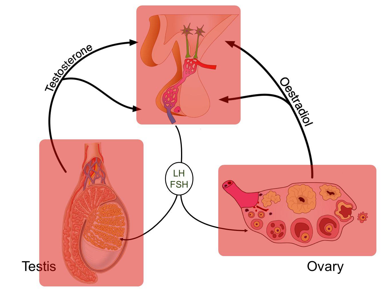 LH FSH OvaryTestis