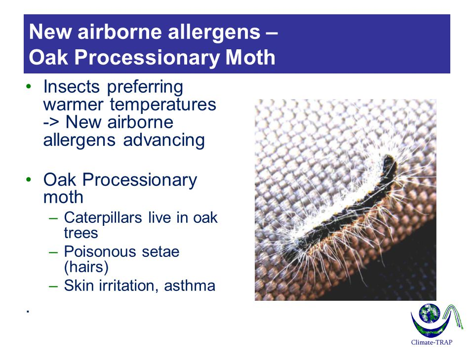 New airborne allergens – Oak Processionary Moth Insects preferring warmer temperatures -> New airborne allergens advancing Oak Processionary moth –Caterpillars live in oak trees –Poisonous setae (hairs) –Skin irritation, asthma.