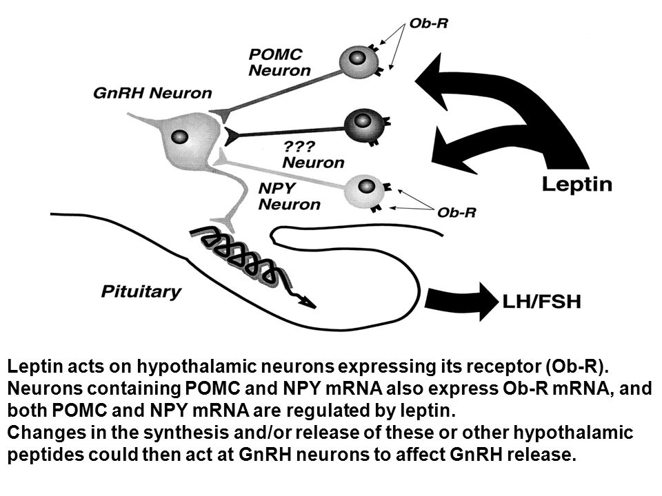 Leptin acts on hypothalamic neurons expressing its receptor (Ob-R). Neurons containing POMC and NPY mRNA also express Ob-R mRNA, and both POMC and NPY