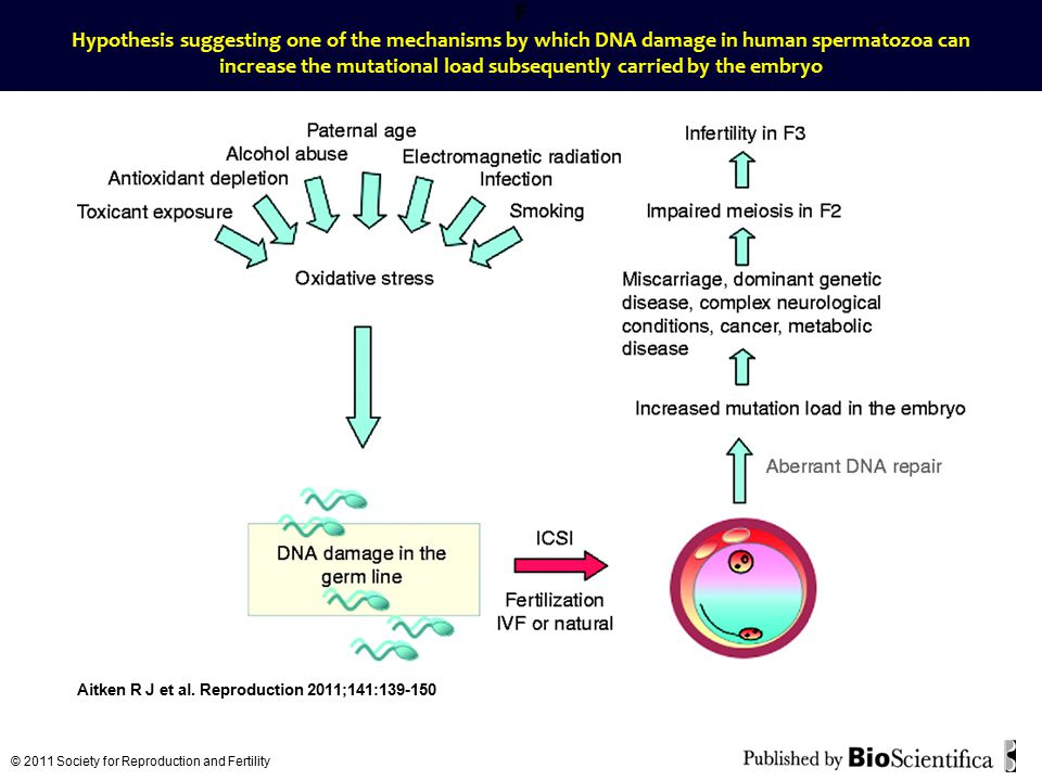 F Hypothesis suggesting one of the mechanisms by which DNA damage in human spermatozoa can increase the mutational load subsequently carried by the em