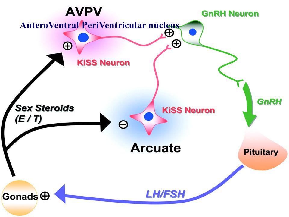 AnteroVentral PeriVentricular nucleus