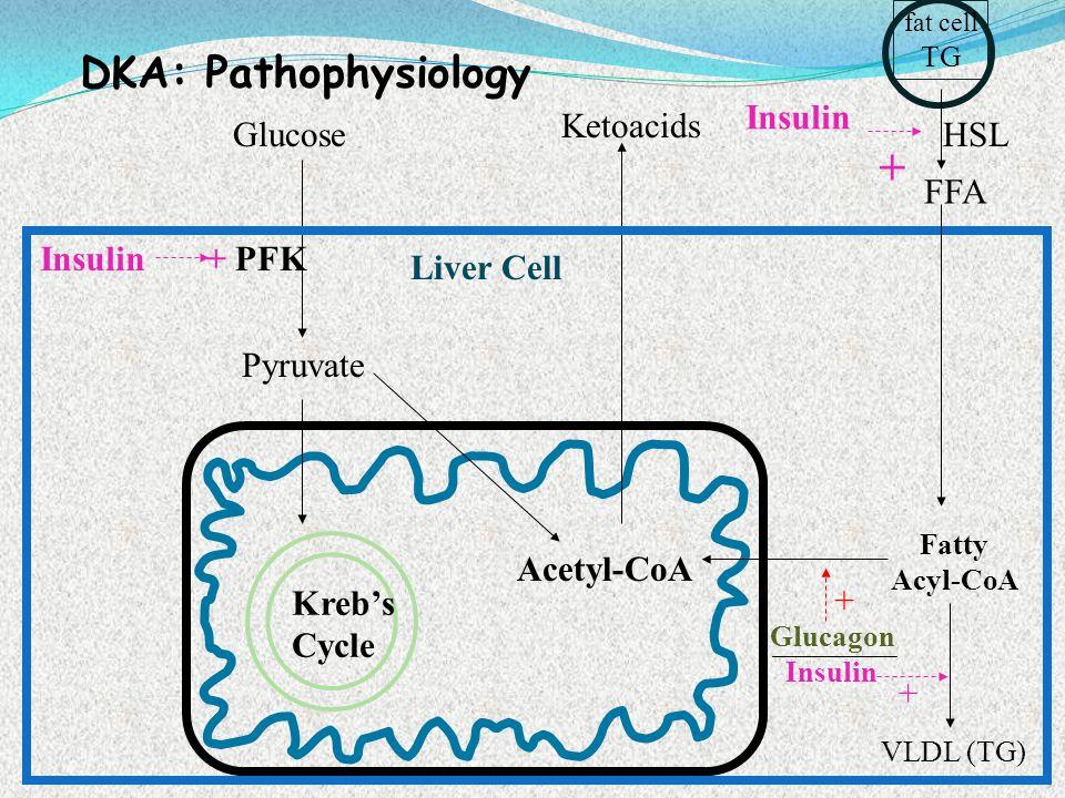 DKA: Pathophysiology Glucose Pyruvate Acetyl-CoA Ketoacids Kreb's Cycle + PFKInsulin fat cell TG FFA HSL Liver Cell Fatty Acyl-CoA Insulin + VLDL (TG)