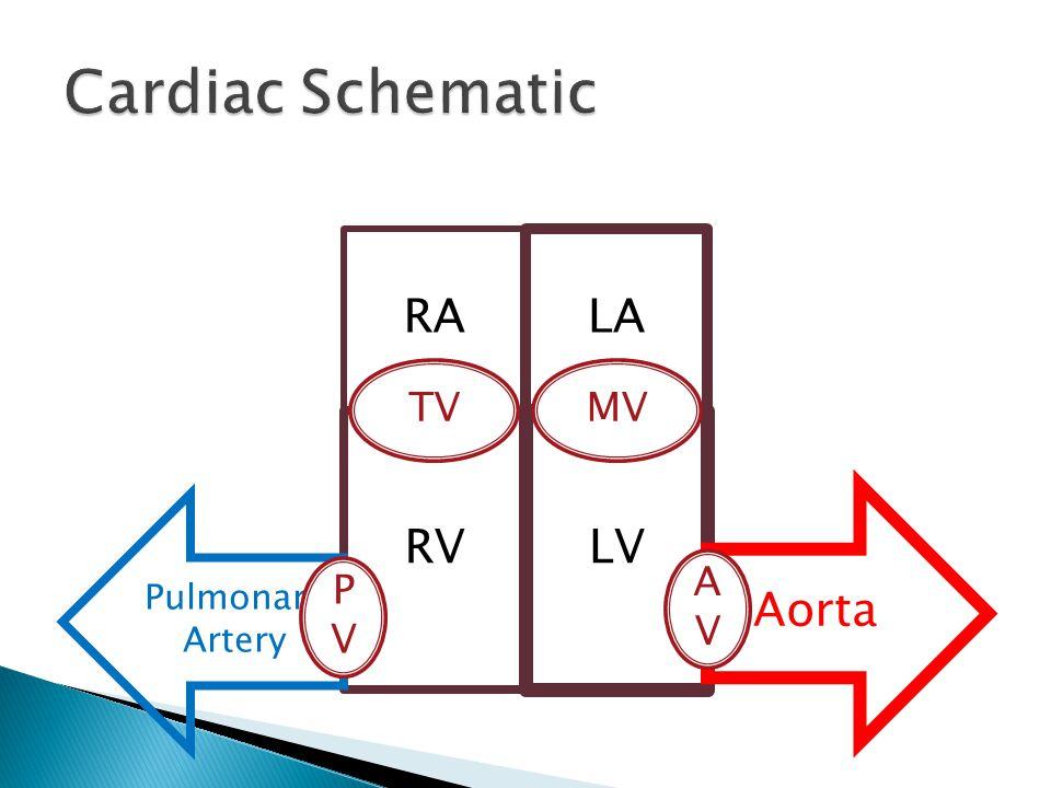 RA LA RV LV Aorta Pulmonary Artery TVMV AVAV PVPV