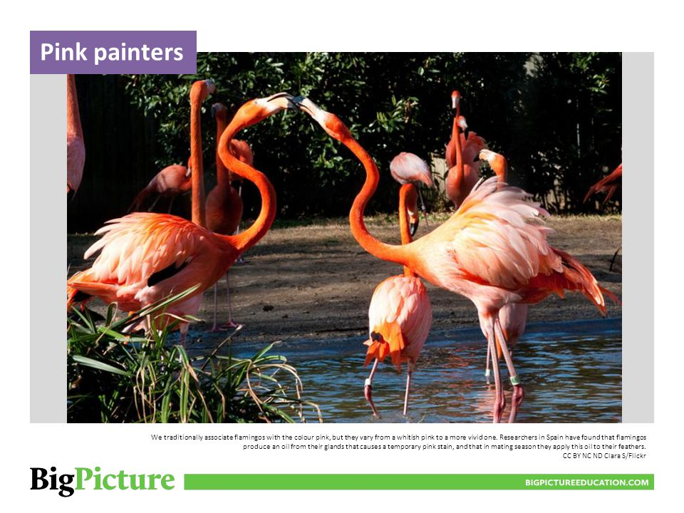 Pink painters We traditionally associate flamingos with the colour pink, but they vary from a whitish pink to a more vivid one.