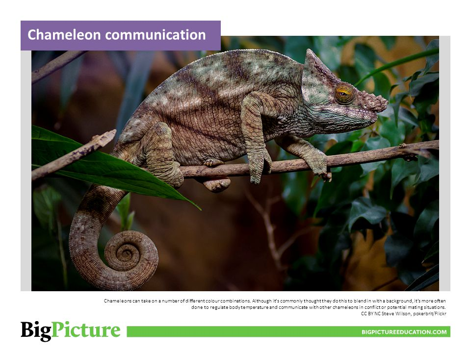 BIGPICTUREEDUCATION.COM Chameleons can take on a number of different colour combinations.