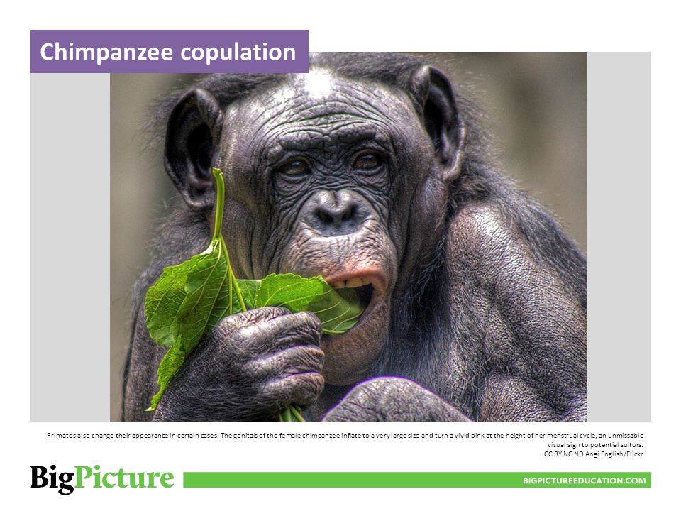 Chimpanzee copulation BIGPICTUREEDUCATION.COM Primates also change their appearance in certain cases.