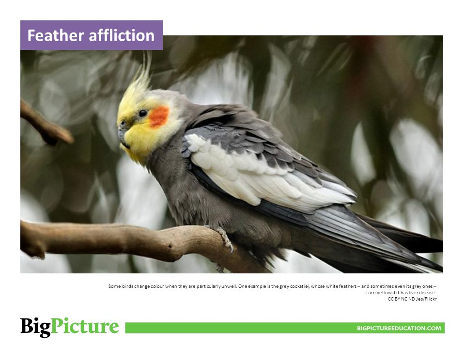 BIGPICTUREEDUCATION.COM Some birds change colour when they are particularly unwell.