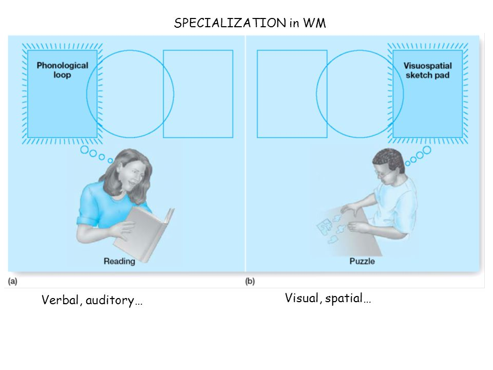Verbal, auditory… Visual, spatial… SPECIALIZATION in WM