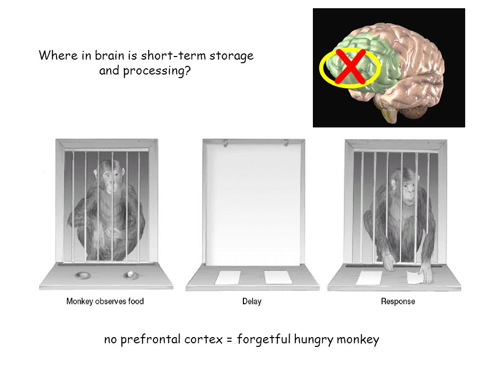 no prefrontal cortex = forgetful hungry monkey X Where in brain is short-term storage and processing