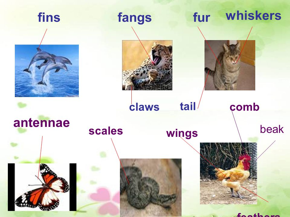 finsfangs claws fur tail whiskers antennae scales wings comb beak feathers