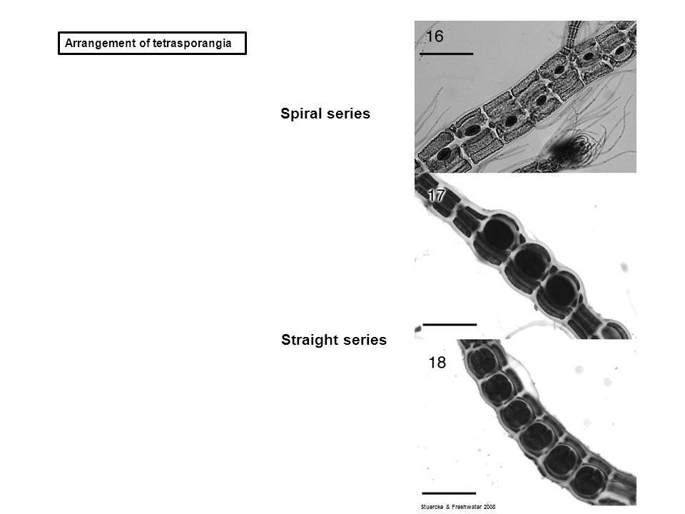 Arrangement of tetrasporangia Spiral series Straight series Stuercke & Freshwater 2008