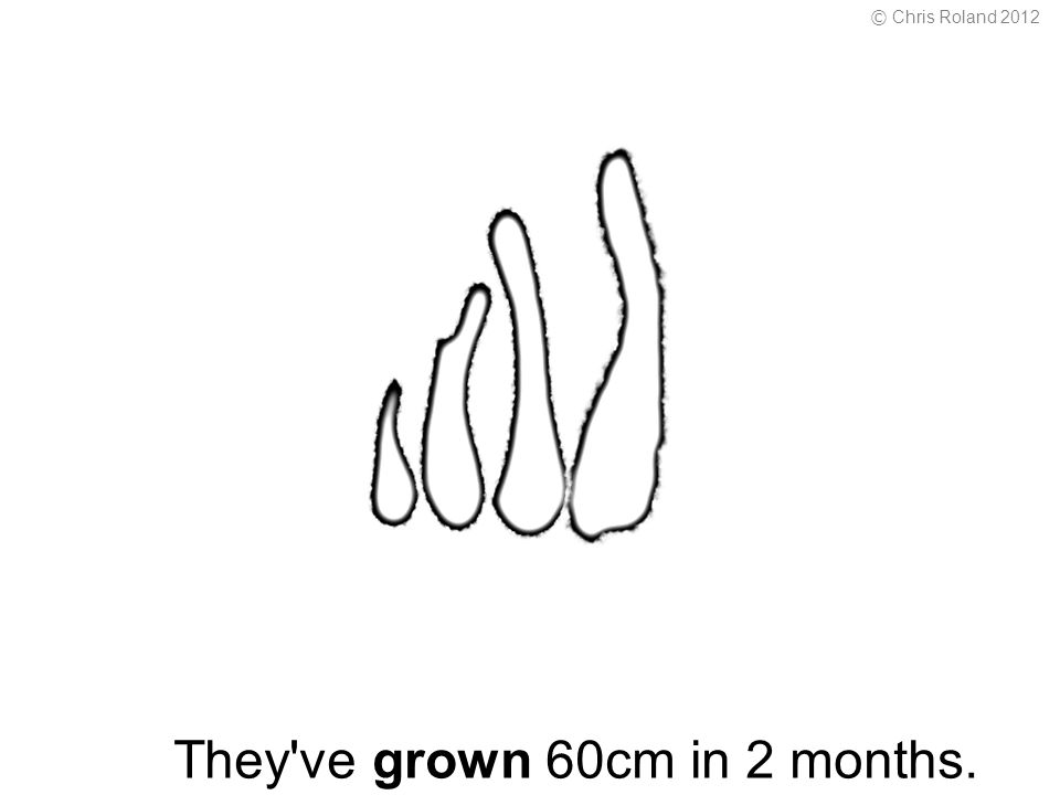They ve grown 60cm in 2 months. © Chris Roland 2012