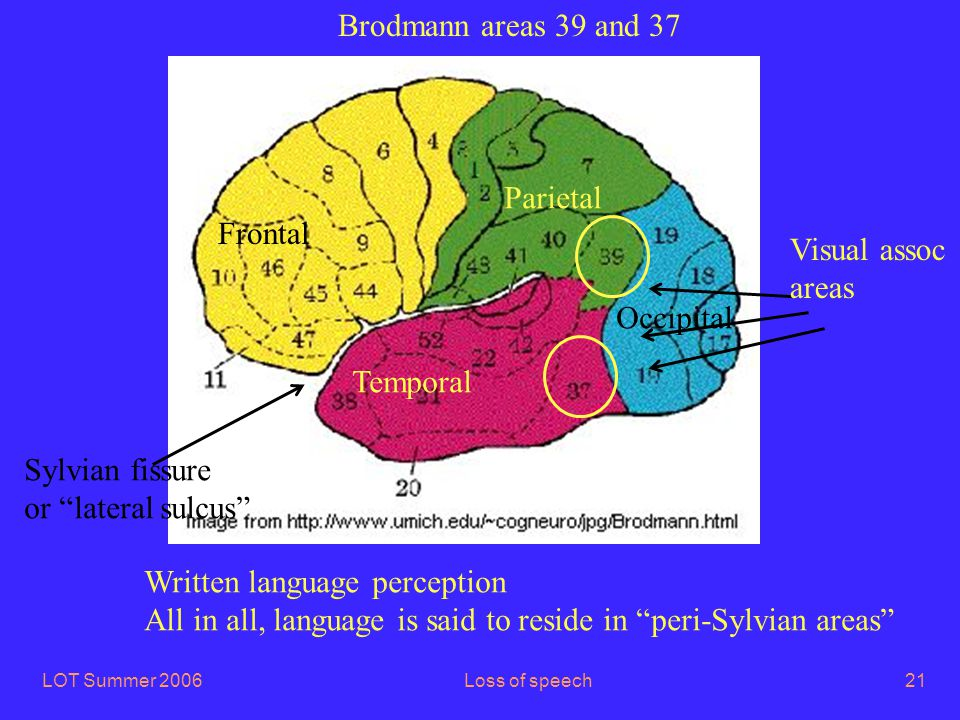 LOT Summer 2006Loss of speech21 Brodmann areas 39 and 37 Frontal Parietal Occipital Temporal Written language perception All in all, language is said to reside in peri-Sylvian areas Visual assoc areas Sylvian fissure or lateral sulcus