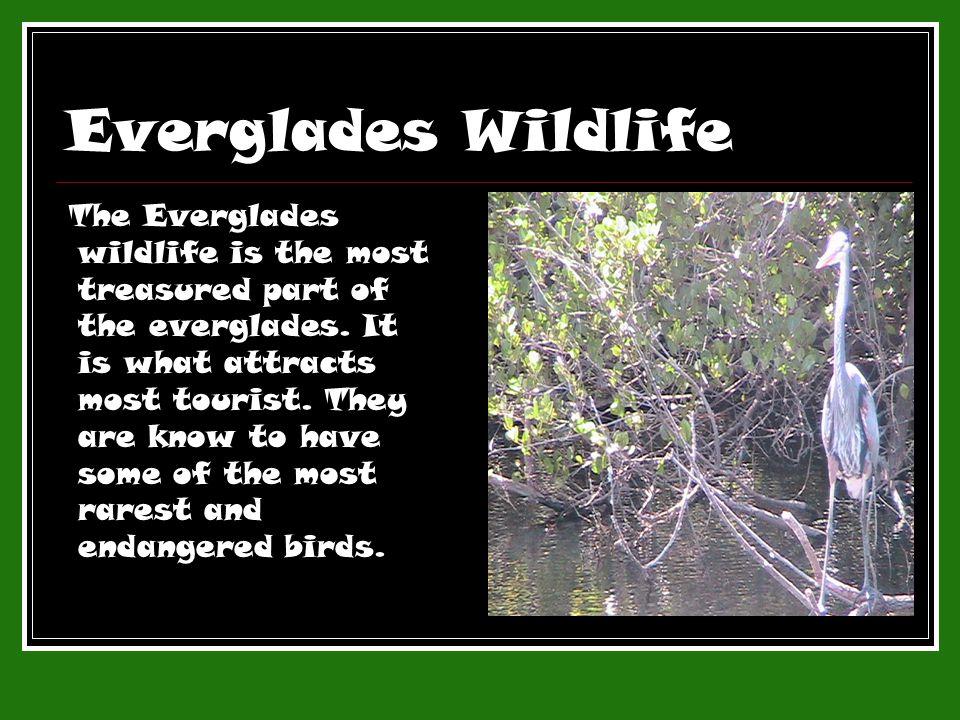 Everglades Wildlife The Everglades wildlife is the most treasured part of the everglades.