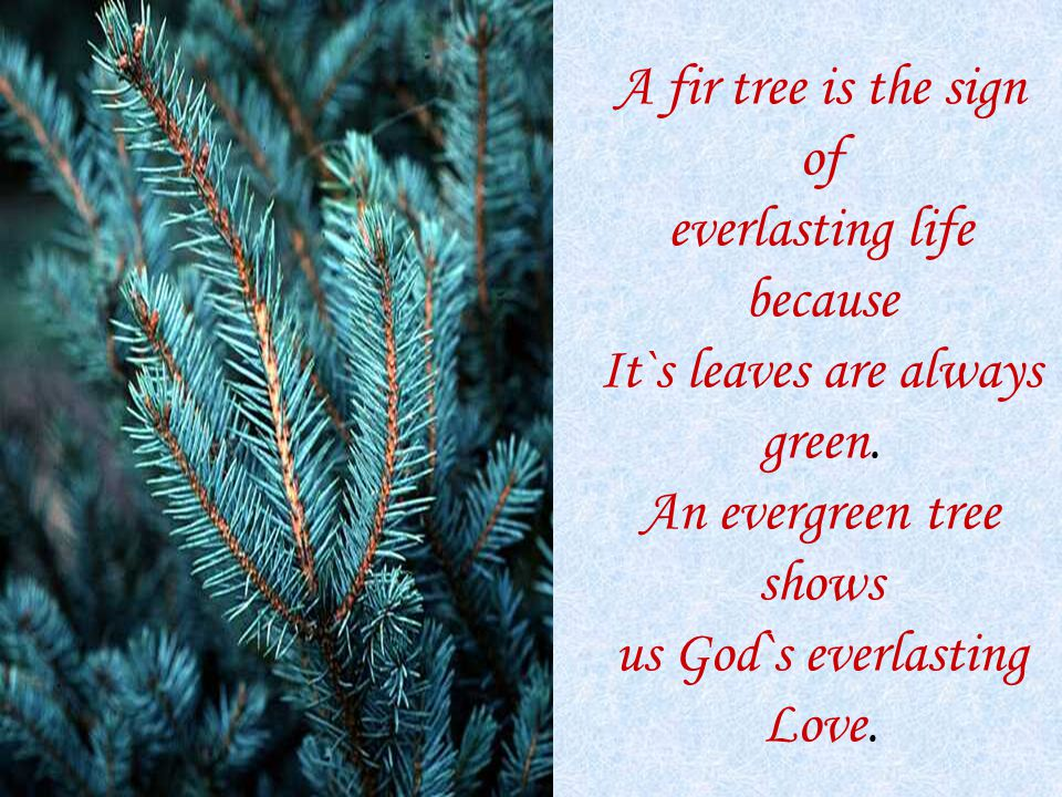 A fir tree is the sign of everlasting life because It`s leaves are always green.