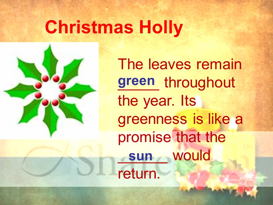 Christmas Holly The leaves remain _____ throughout the year. Its greenness is like a promise that the ______ would return. green sun
