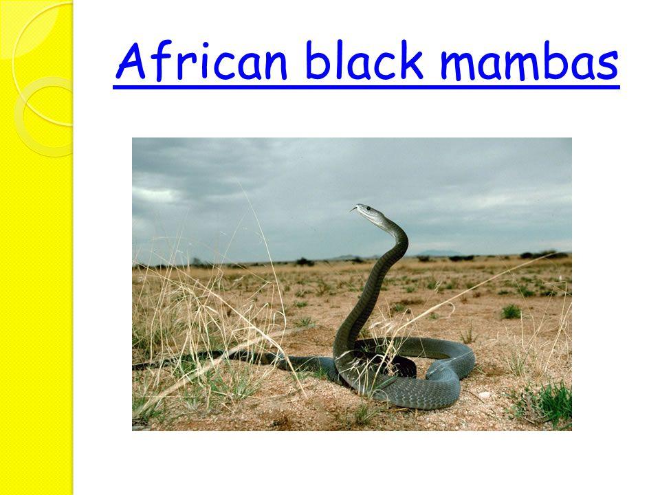 African black mambas