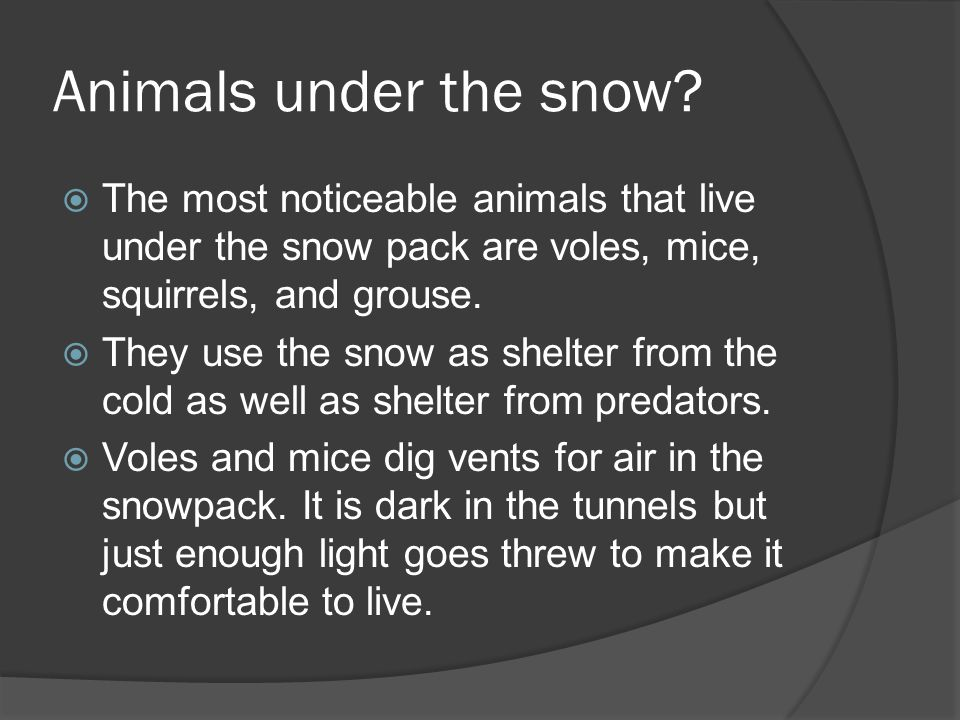 Subnivean environment  Small mammals living under the snowpack are still in danger.