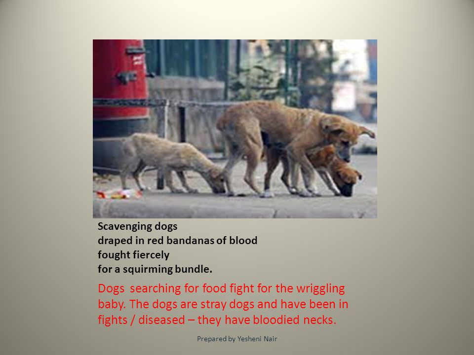 Scavenging dogs draped in red bandanas of blood fought fiercely for a squirming bundle. Dogs searching for food fight for the wriggling baby. The dogs
