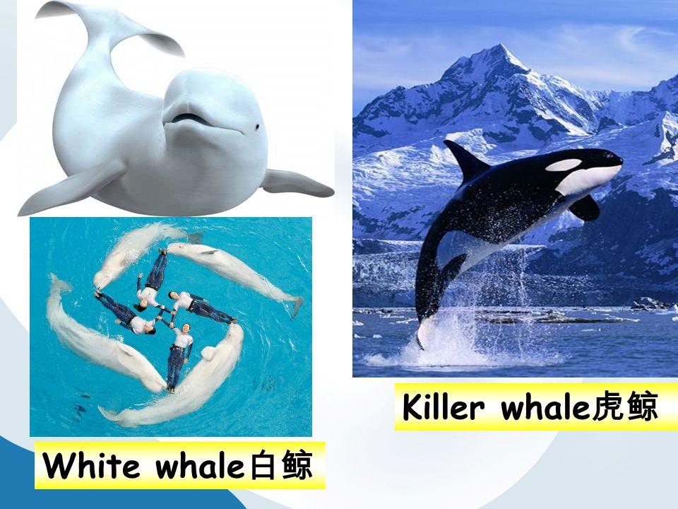 White whale 白鲸 Killer whale 虎鲸