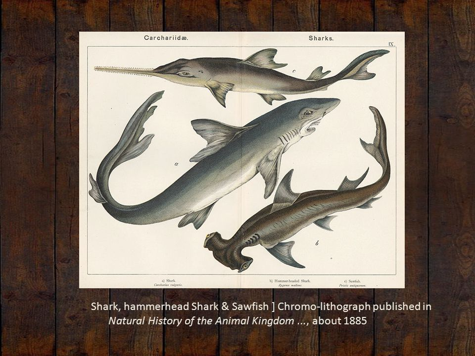 Shark, hammerhead Shark & Sawfish ] Chromo-lithograph published in Natural History of the Animal Kingdom..., about 1885