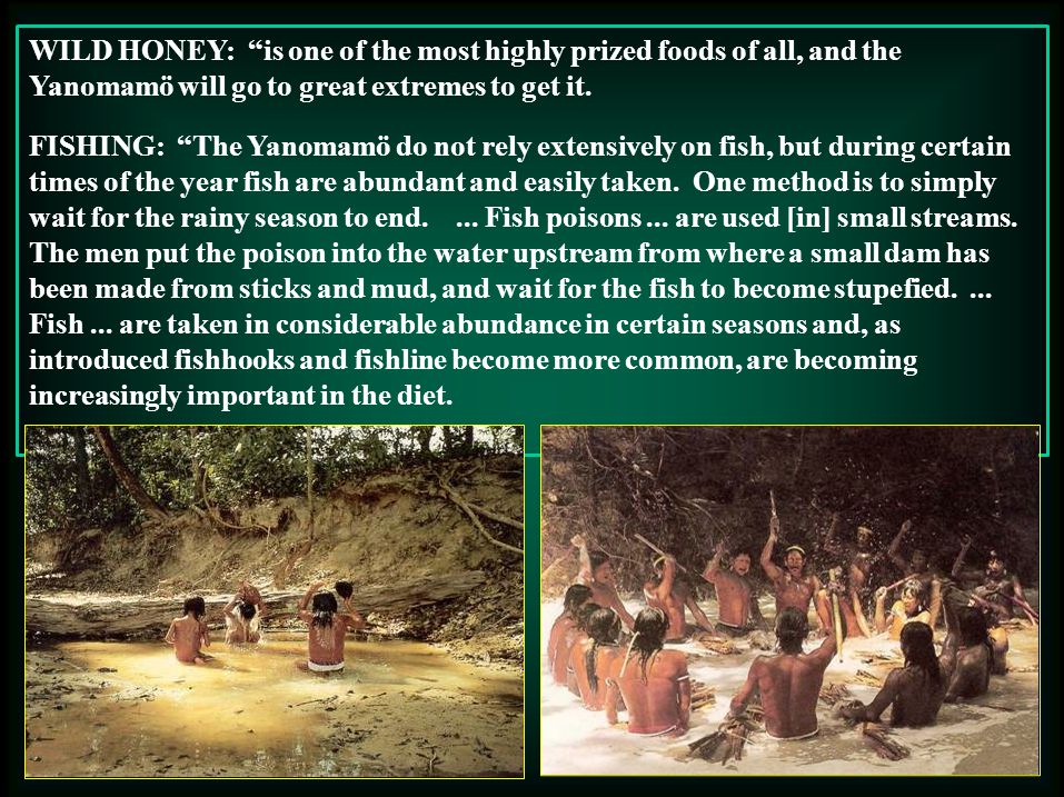 WILD HONEY: is one of the most highly prized foods of all, and the Yanomamö will go to great extremes to get it.