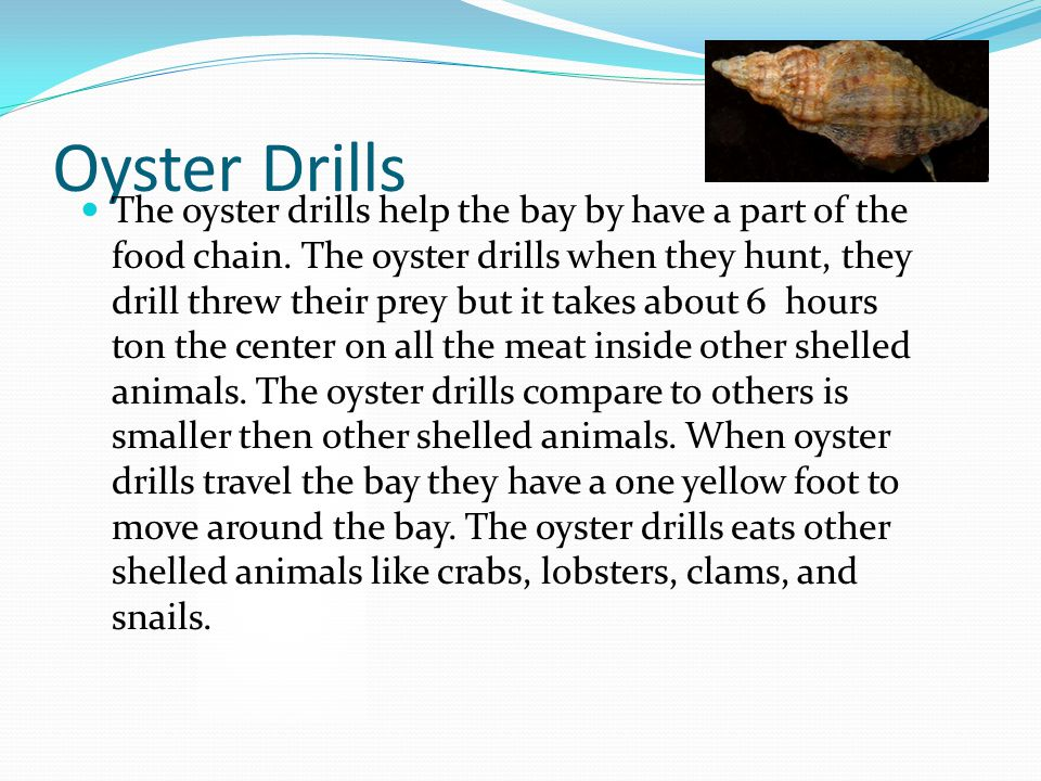 Oyster Drills The oyster drills help the bay by have a part of the food chain.