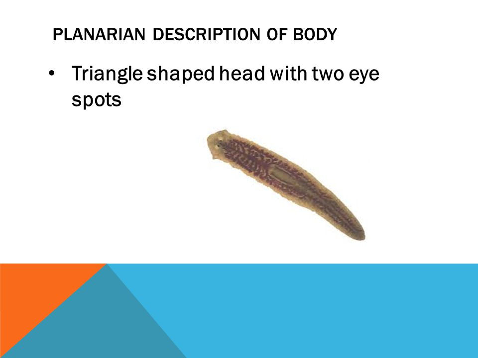 PLANARIAN DESCRIPTION OF BODY Triangle shaped head with two eye spots