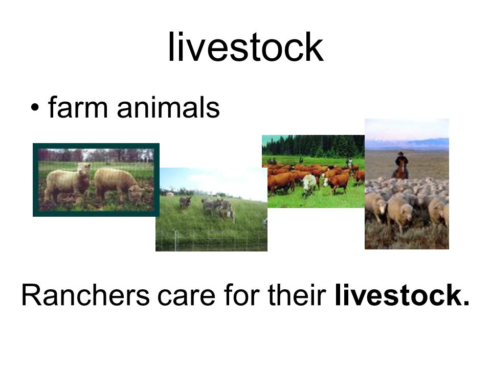 livestock farm animals Ranchers care for their livestock.