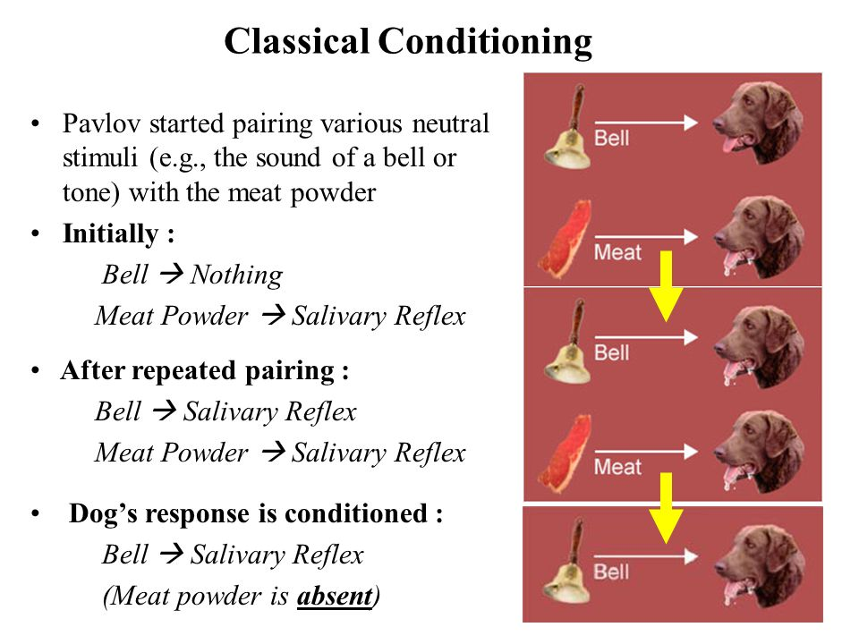 5 Classical Conditioning Pavlov started pairing various neutral stimuli (e.g., the sound of a bell or tone) with the meat powder Initially : Bell  Nothing Meat Powder  Salivary Reflex After repeated pairing : Bell  Salivary Reflex Meat Powder  Salivary Reflex Dog's response is conditioned : Bell  Salivary Reflex (Meat powder is absent)